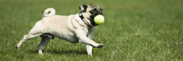 Pug Running with Ball