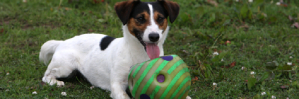 Jack Russell with Green Ball