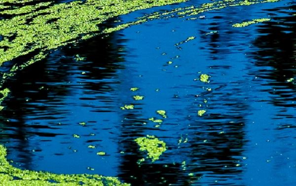 HP Blue Green Algae_news flash